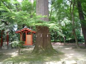 近江八幡市巨木