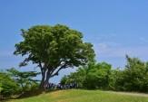 15大樹の陰