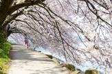 05桜のトンネル