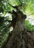 10深山の神木
